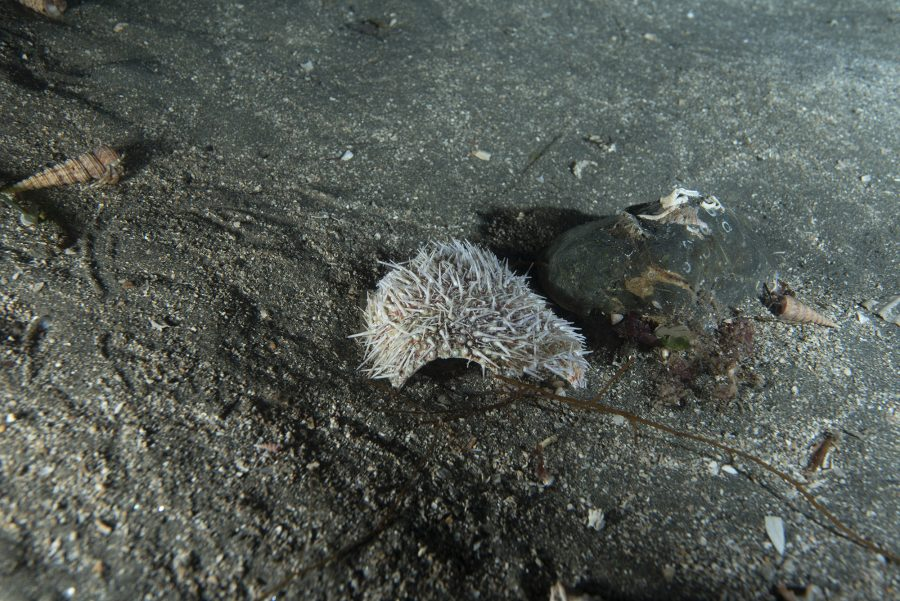 A piece of cracked shell from sea urchin found in the Sound of Mull Marine Protected Area. The spines of a sea urchin would generally fall off after a week or so, indicating the sea urchin was recently damaged.